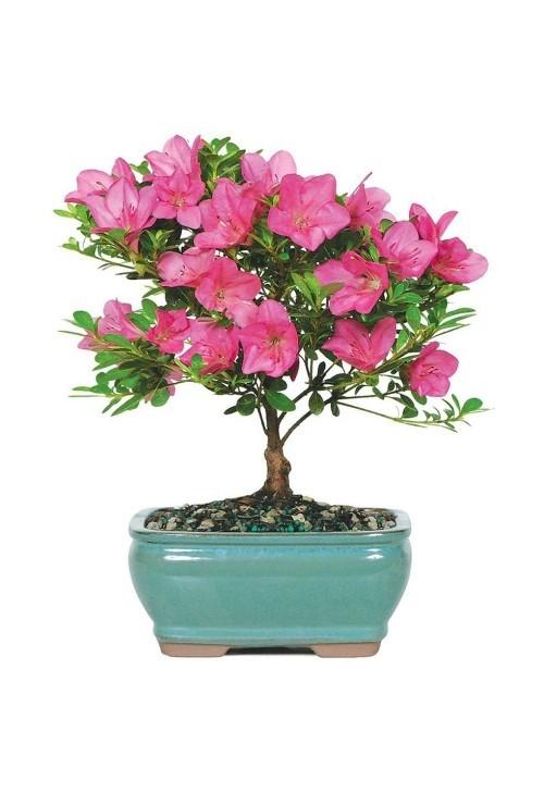 Azalie im Topf schöne rosa Blüten Geburtstagsgeschenke für Mama
