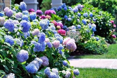 Bauerngarten mit Hortensien