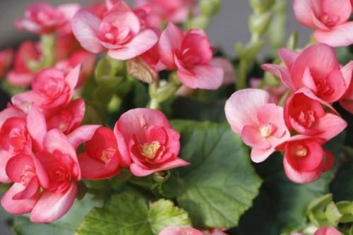Begonie kleine rosa-rote Blüten dürreresistente Zimmerpflanzen