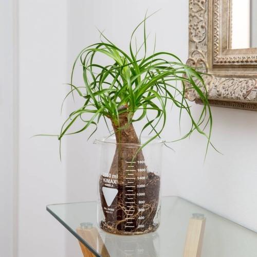 Dürreresistente Zimmerpflanzen Pferdeschwanzpalme Wasser speichern im Stiel