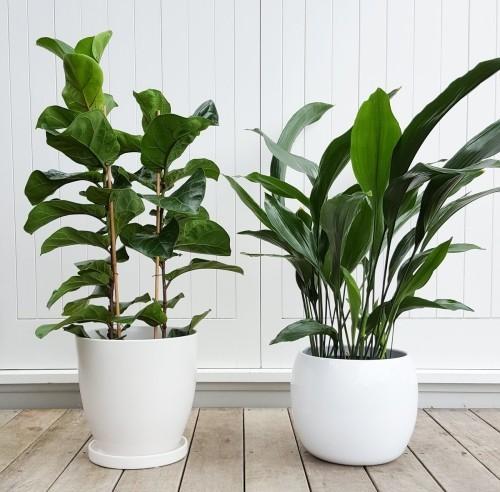 Dürreresistente Zimmerpflanzen Schusterpalme grüne Note im Zimmer