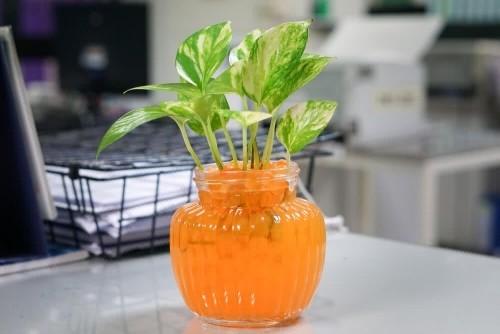 Efeutute Zierpflanze im Büro schöne grüne Blätter Frisch auf Schreibtisch