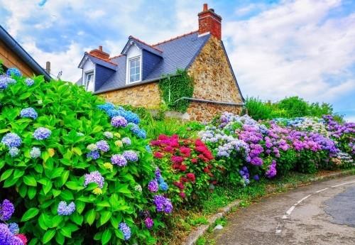 Frau schneidet Blütenstiele Hortensien für Blumenstrauß Garten voller blühender Hortensien