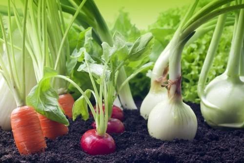 Gemüse anbauen ernten nach Saisonkalender Karotten Radieschen Schalotten im Beet