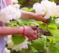 Hortensien vermehren – Wissenswertes und nützliche Tipps