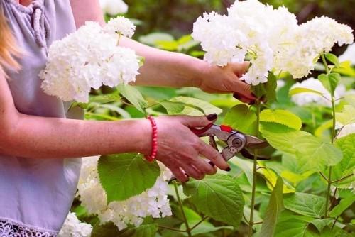 Hortensien im Garten Blütenpracht