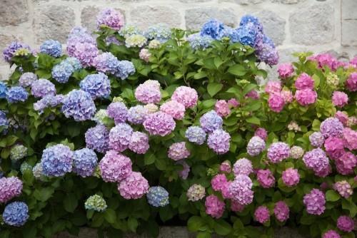 Hortensien in rosa blau lila violett schöne Gartenblumen blühen im Frühling und Sommer beim Sonnenuntergang im Garten
