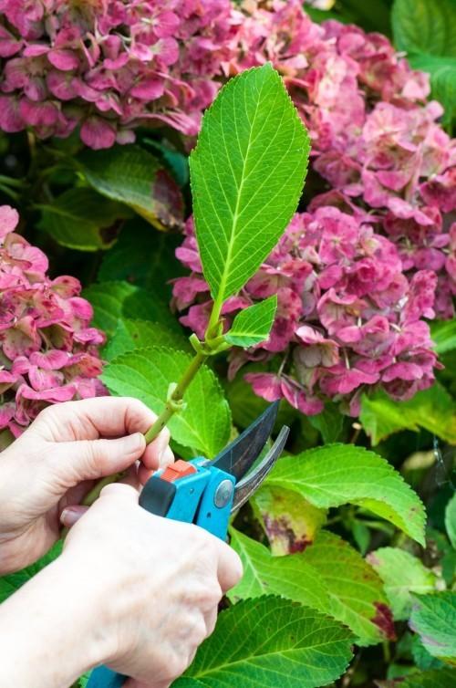 Hortensien vermehren durch Stecklinge untere Blätter entfernen obere Blätter anschneiden