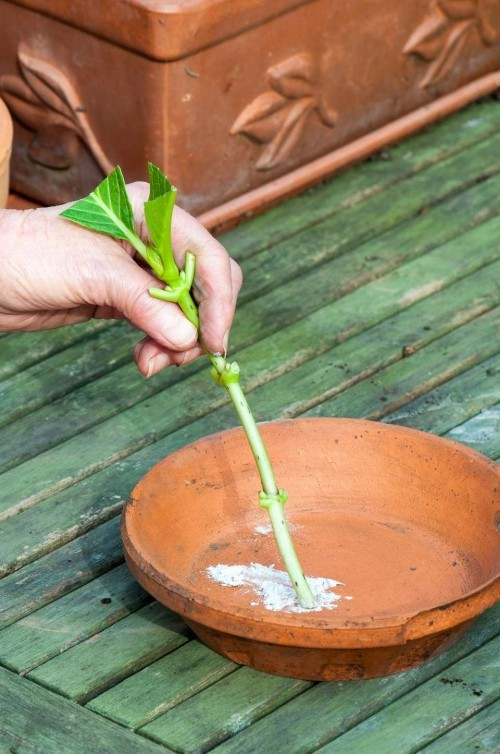 Hortensien vermehren ein Steckling vor der Einpflanzung