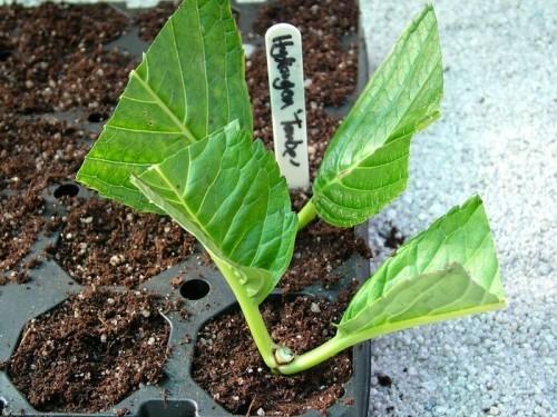 Hortensien vermehren ein paar Wochen gießen und abwarten