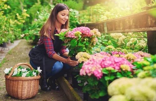 Junge Frau pflückt rosa Hortensien im Garten