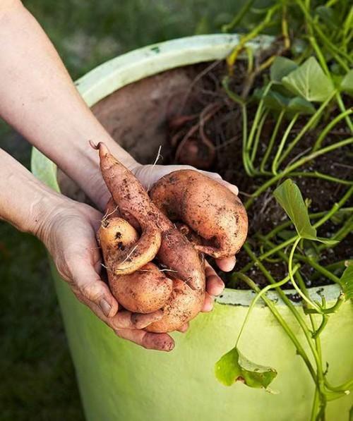 Kartoffeln im Garten nach Saisonkalender anbauen ernten