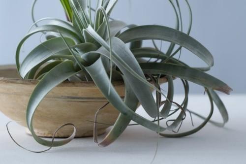 Luftpflanzen dürreresistente Zimmerpflanzen interessant geformte Blätter ohne Wasser