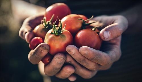 Nach Saisonkalender ernten reife Tomaten vom Garten direkt in die Küche