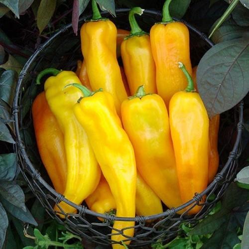 Paprika Peperoni scharf essen Gemüse nach Saisonkalender anbauen ernten