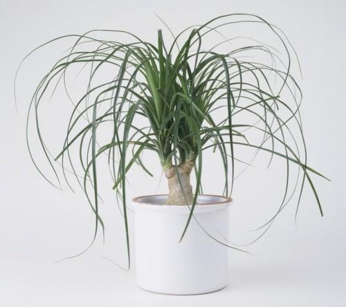 Resistente Zimmerpflanzen Pferdeschwanzpalme Raumschmuck und Blickfang