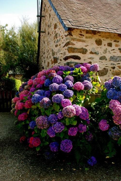 Rustikaler Bauerngarten mit Hortensien erinnert an die Kindheit