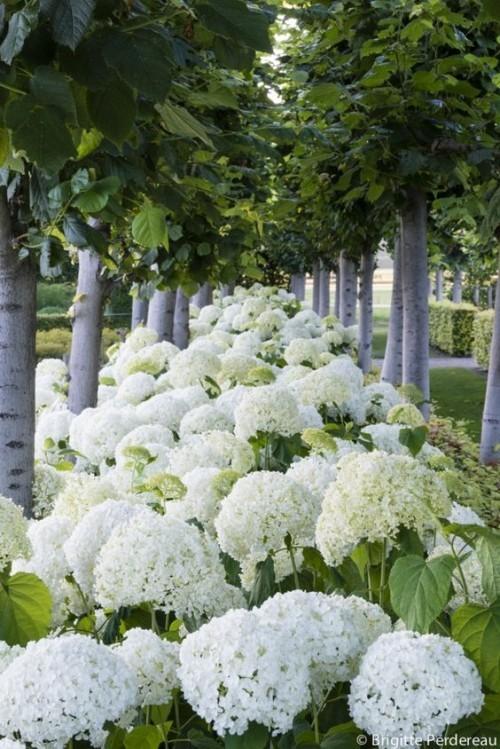 Weiße Hortensien vermehren viel Eleganz im Garten ausstrahlen