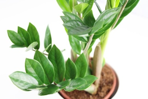 Zamioculcas ausdauernde Zimmerpflanzen glänzende grüne Blätter