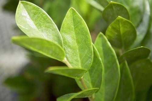 Zamioculcas ausdauernde Zimmerpflanzen glänzende grüne