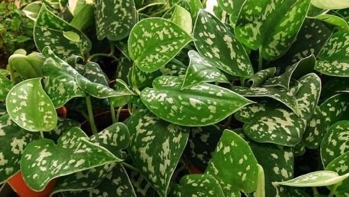 Zamioculcas weiße Zimmerpflanzen