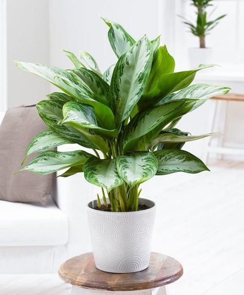 Zimmerpflanzen Kolbenfaden interessante Blattfärbung und Form