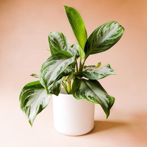 Zimmerpflanzen Kolbenfaden interessante Blattfärbung