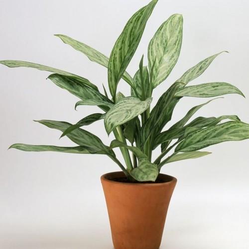 Zimmerpflanzen Kolbenfaden