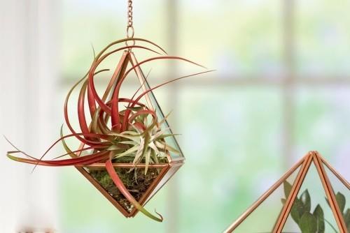 Zimmerpflanzen Luftpflanzen echte Attraktion schöne Farben dünne Blätter Glasgefäß