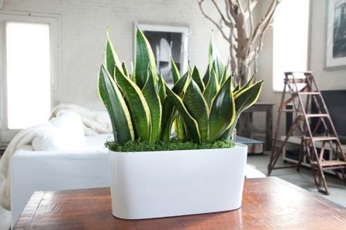 Zimmerpflanzen Sansevieria im Schlafraum macht gute Figur im großen weißen Pflanzgefäß