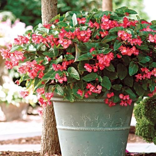 Zimmerpflanzen draußen im Garten Begonie rosa