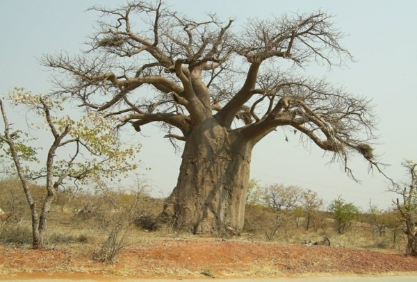 baobab frucht großer baum-resized