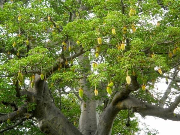 baobab frucht toller baum-resized