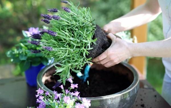 blumenkübel bepflanzen lavendel