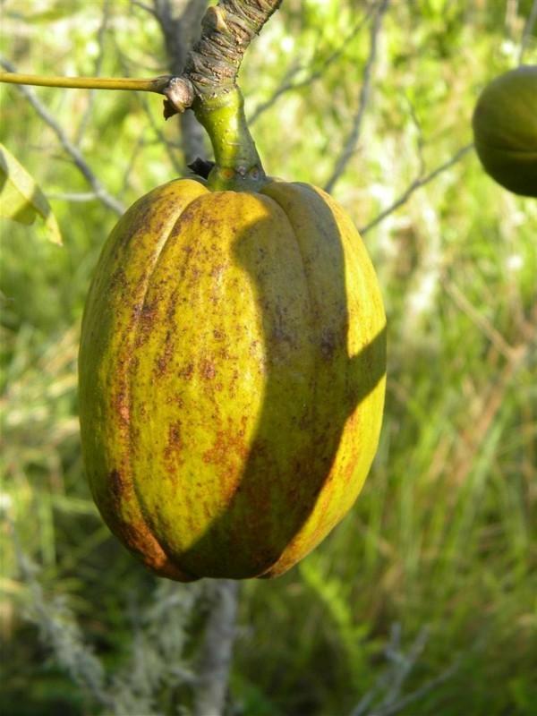 einzelne baobab frucht noch grün-resized