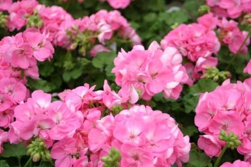 herrliche Blütenpracht Hortensie Königin der Gartenblumen