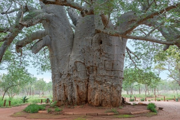 riesiger baobab baum in afrika-resized