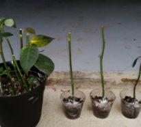 Rosen vermehren: Durch Stecklinge gelingt´s Ihnen ganz einfach
