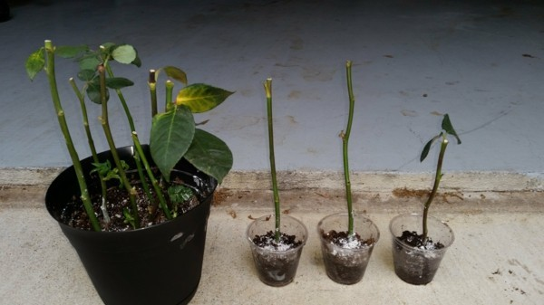 rosen vermehren durch stecklinge blumentöpfe plastikgläser