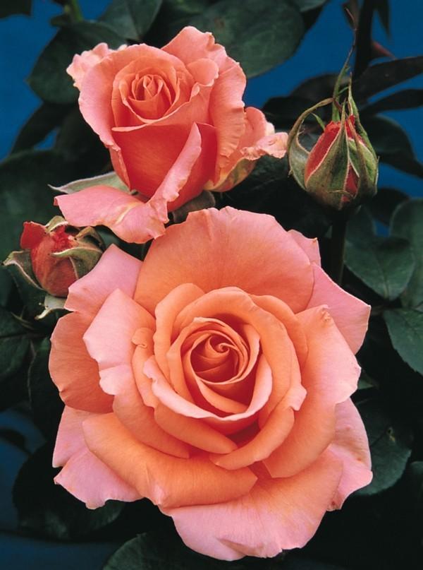 rosen vermehren steckling methode