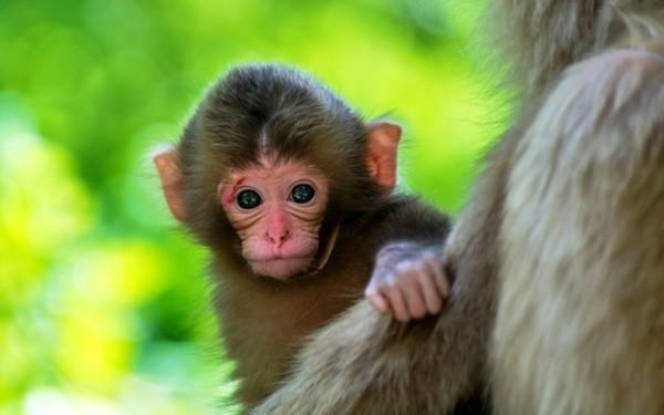 süße Tierbilder babyaffe