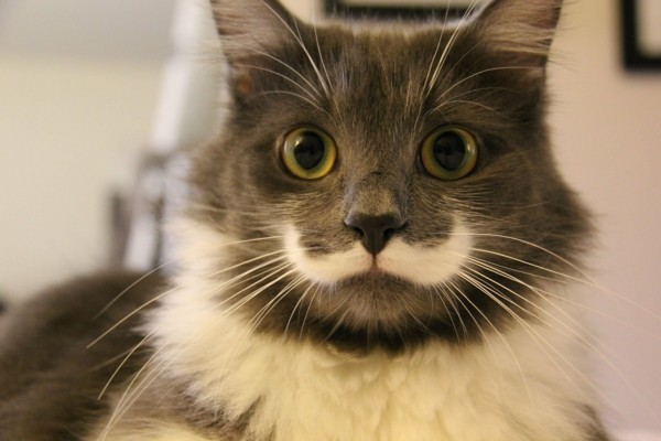süße Tierbilder katze mit mustache