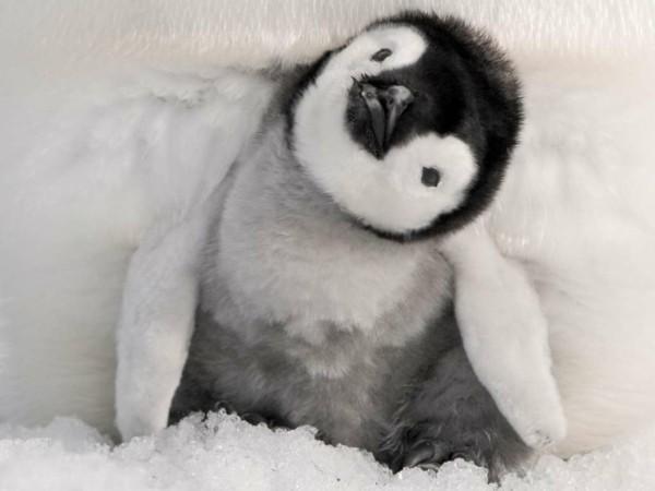 süße Tierbilder pinguine