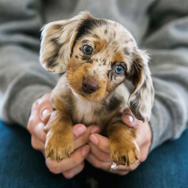süße Tierbilder welpenhund blauaeugig
