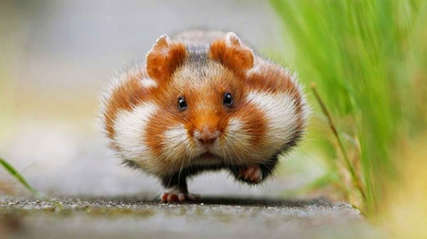 süße Tierbilder welpenhund meerschweinchen