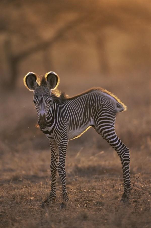 süße Tierbilder welpenhund zebra