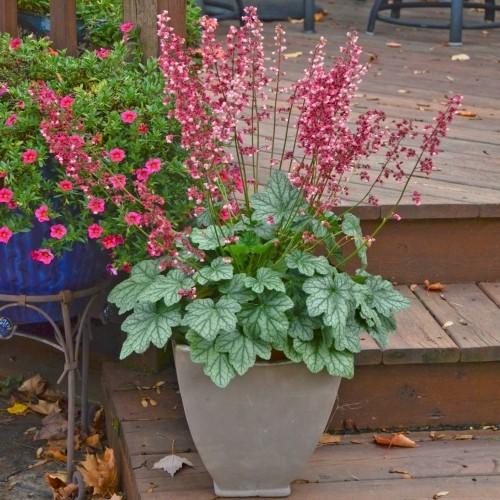 Attraktive Gartenpflanzen Heuchera hübsches Laub zarte Blüten