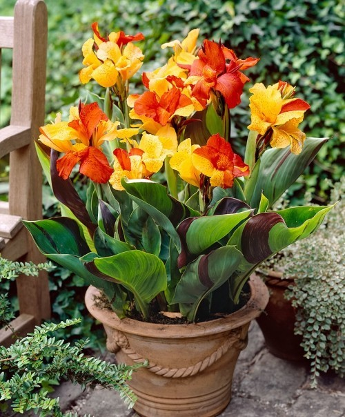Canna im Topf Schmuck für Patio oder Veranda attraktive Gartenpflanzen mit buntem Laub