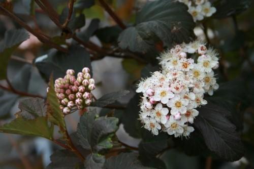 Favorit unter attraktiven Gartenpflanzen pflegeleichte schneeballblättrige Blasenspiere