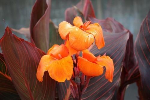 Gartenpflanzen Canna schön geformte dunkle Blätter und orangenfarbige Blüten